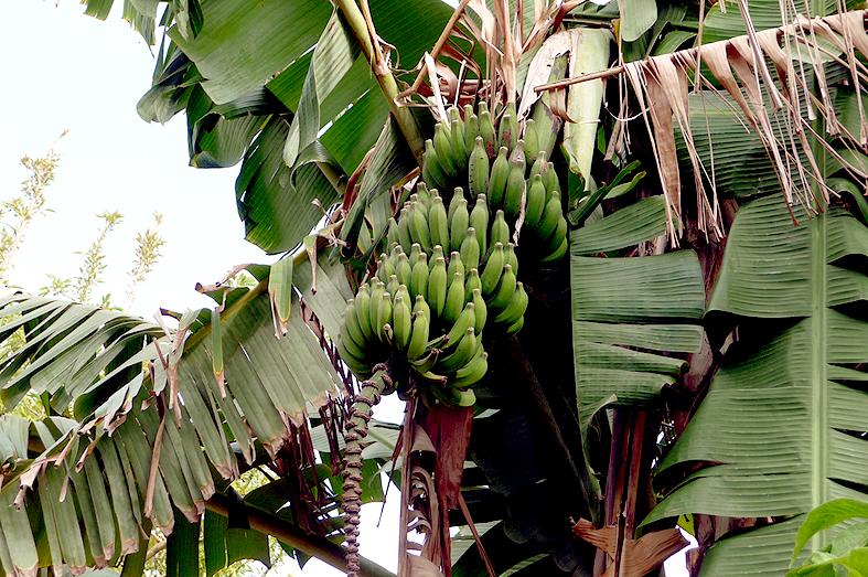 FC&G_banana_tree_rabat_chellah