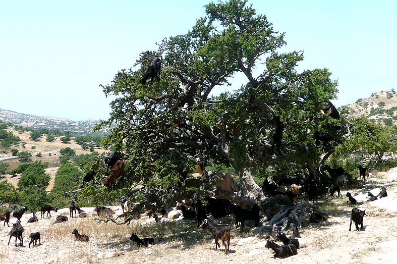 FC&G_goats_argan_tree