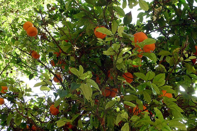 FC&G_rabat_andalusian_gardens_tree